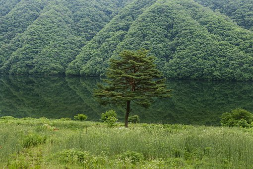 Pine, Lake, River, Green, Lonely