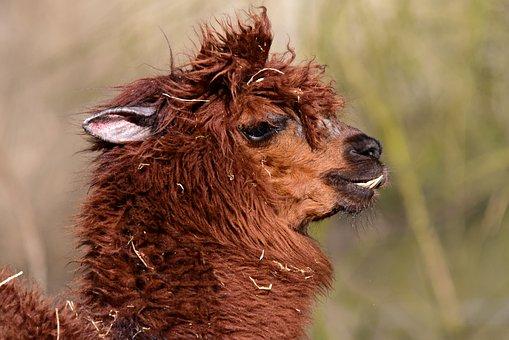 Alpaca, Vicuna Pacos, Animal, Mammal, Peru