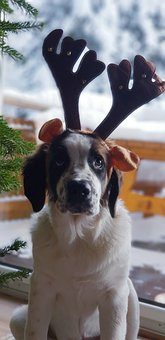 Christmas, Dog, Moose, Moscow Guard Dog, Winter