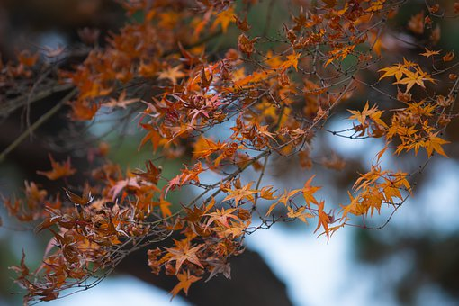 Dry Leaves, Maple, Autumn, Nature, Fall