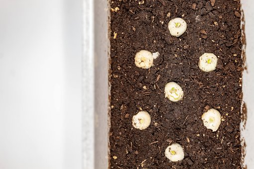 Onion, Seed, Seedling, For Sowing, Small