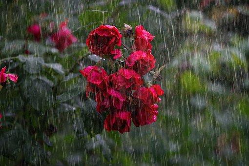 Heavy Rain, Rose, Sorrow, Tear, Outdoor, Sadness