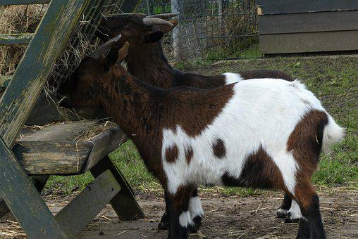 Goats, Goat, Food, Petting, Animal World, Cattle