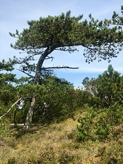 Pine, Fanø, The National Park Vadehavet