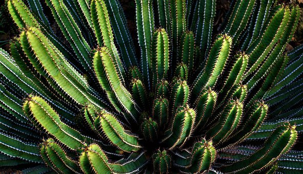 Cactus, Background, Plant, Prickly, Spur, Nature