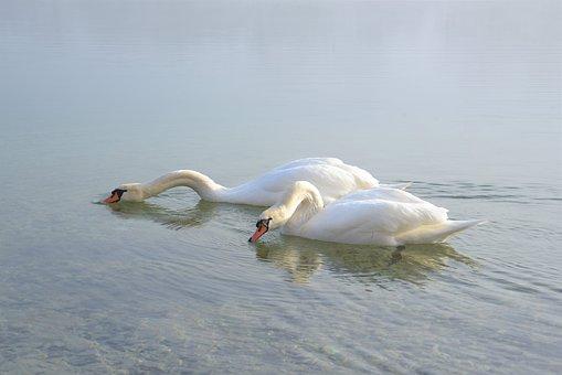 Swans, Plumage, Bird, Water Bird, White