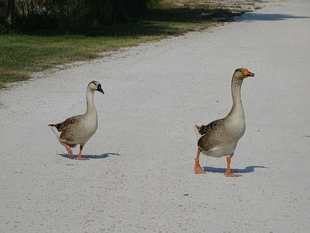 Goose, Duck, Animal, Hiking, Bird, Poultry