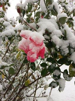 Spring, Spring Snow, Snow, Flower, Frozen, Garden
