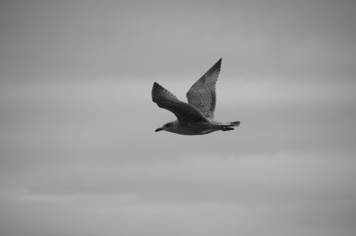 Seagull, Bird Flight, Swing, Glide