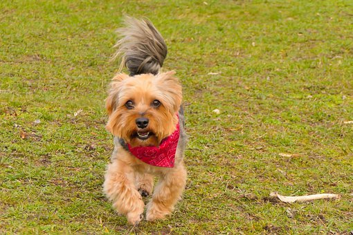 York, Tom, Runs, Wind, Shawl, Dog, Tail, Portrait