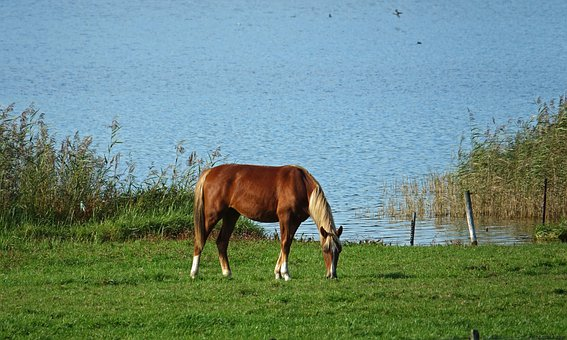 Horse, Animal, Water, More, Browser, Countryside
