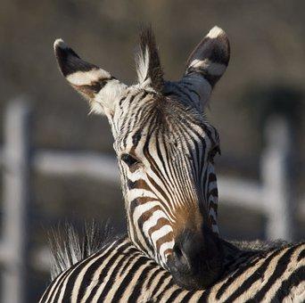 Africa, Zebra, Animals, Safari, Nature, Zoo, Wild