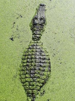 Alligator, Crocodile, Green, Reptile, Dangerous, Wild