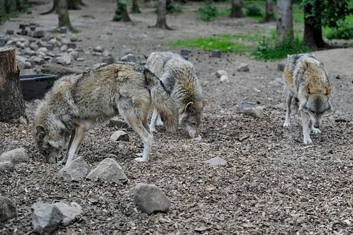 Wolf, Wolves, Predator, Hunter, Canis Lupus, Carnivores