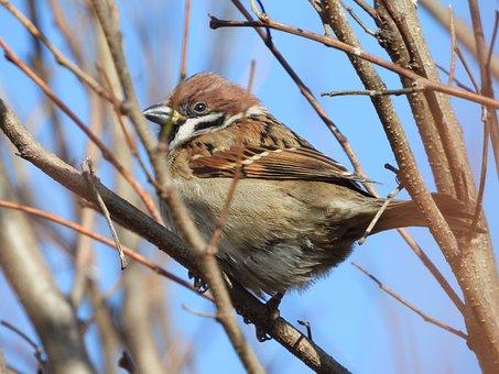 The Sparrow, Sparrow Common, Bird, Wróbelek, Wings