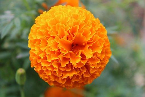 Golden, Yellow, Marigold, Blossom
