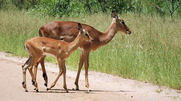 Impala, Ewe, Female, Young, Lamb, Animals