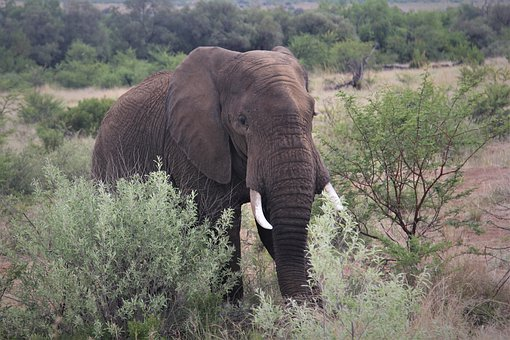 African Elephant, Approaching, Tusks, Bull, Big 5