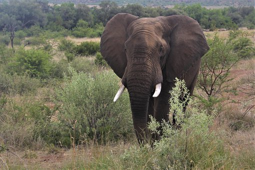 African, Elephant, Bull, Approaching, Tusks, Big 5