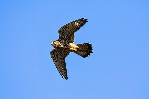 Animal, Sky, Bird, Wild Birds, Raptor, Falcon