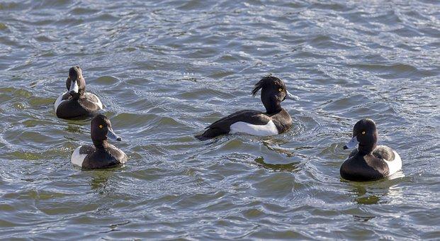 Water, Bird, Nature, Animal, Duck, Wildlife, Outdoors
