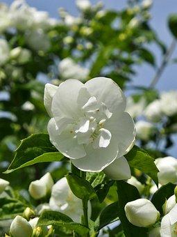 Flower, Flowers, Bush, Plant, Leaf, White Jasmine