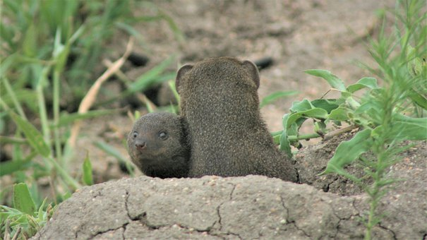 Dwarf Mongoose, Barrow, Nest, Mother, Child, Young