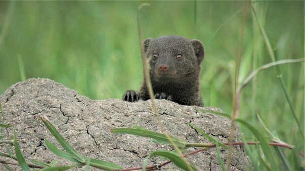 Dwarf Mongoose, Barrow, Nest, Pup, Child, Young, Cute