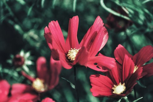 Kosmeen, Cosmos, Composites, Flowers