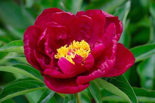 Peony, Spring, Pentecost, Cottage Garden, Blossom