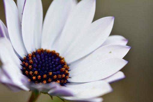 Flower, Daisy, African Daisy