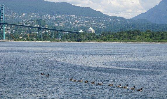 Ducks, Wildlife, Water, Flock, Nature, Bird, Vancouver