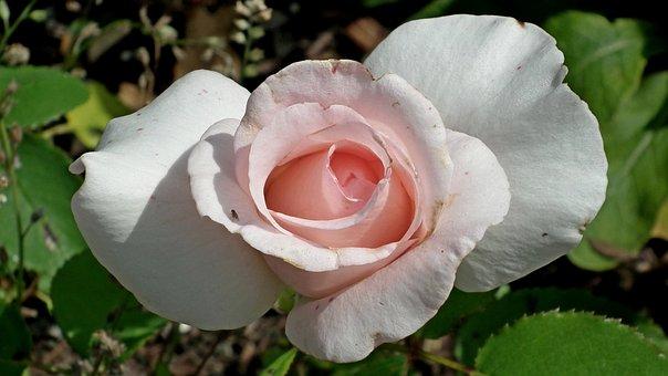 Rose, Flower, Pink, Garden, Beauty, Nature