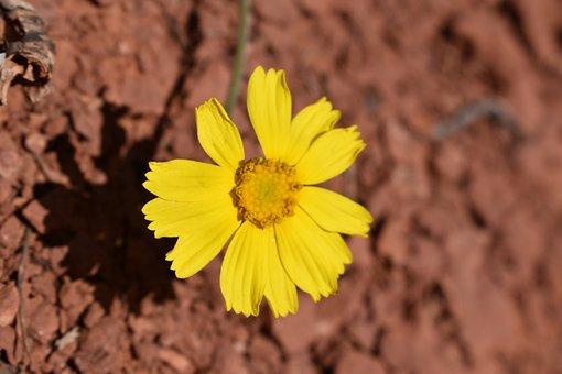 Desert, Sedona, Flower, Daisy, Arizona