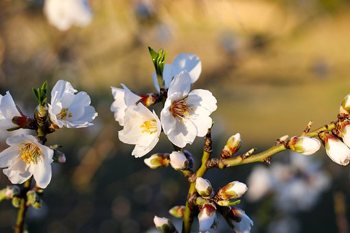 Flowers, Blooming Almond Tree, Almond Tree, White
