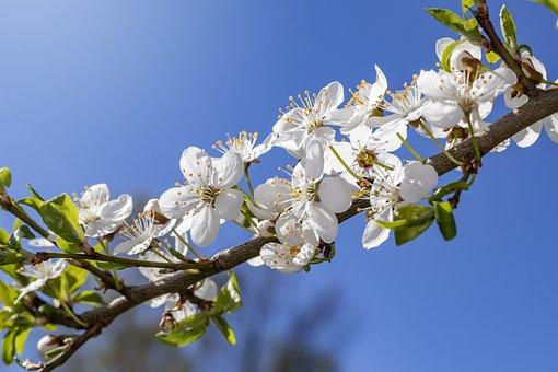 Cherry Blossom, Spring, Flowers, Branch, Blossom, Tree