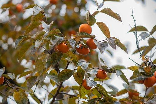 Persimmon, Food, Fruit, Red, Color, Sweet, Vitamins