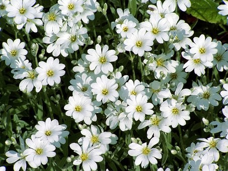 Flower, Nature, Garden, Snow-in-summer, Meadow, Spring