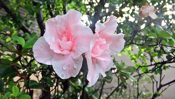 Rosa, Planta, Flor, Flower, Rose, Garden