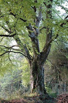 Beech, Tree, Woodland, Leaves, Branches, Green, Spring