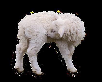 Sheep, Lamb, Isolated, Farm, Wool