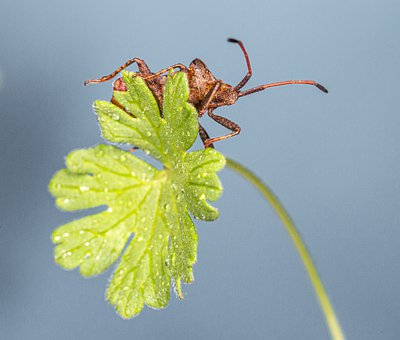 Dock Bug, Coreus Marginatus, Leaf, Studio, Isolated
