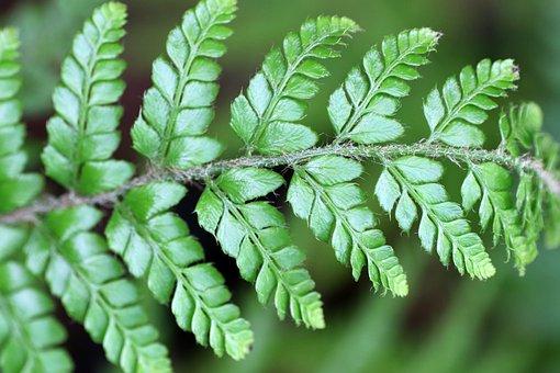 Fern, Leaf, Frond, Foliage, Plant, Garden, Nature