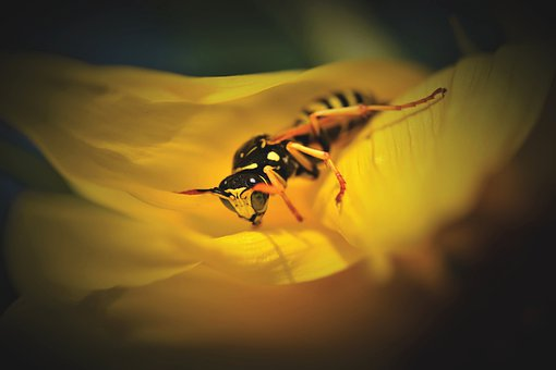 Wasp, Insect, Sting, Animal, Macro