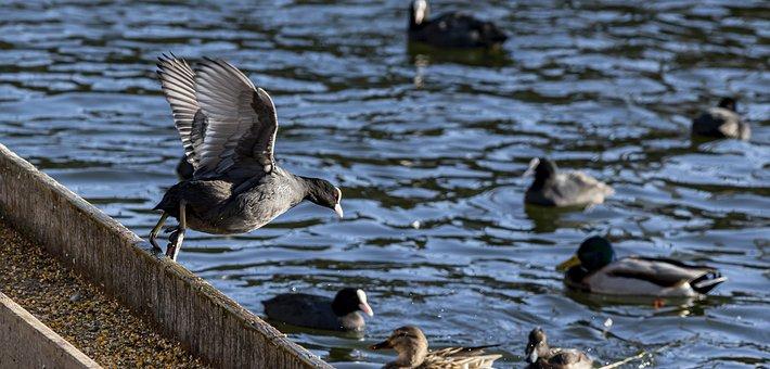 Eurasian Coot, Fulica Atra, Water, Bird, Nature, Animal