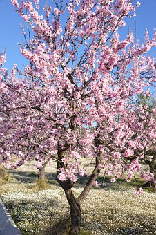 Tree, Nature, Landscape, Sky, Almond, Blossom, Flowers