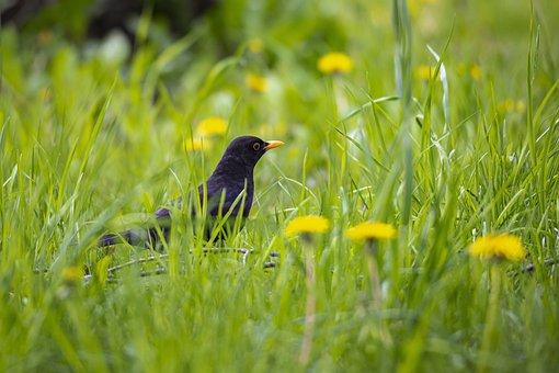 Blackbird, Turdus Merula, Bird, Ground, Grass, Nature
