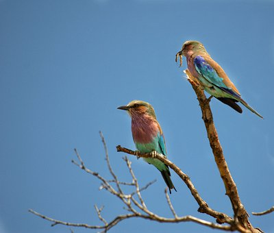 Birds, Perch, Perched, Africa, Avian, Colorful, Plumage
