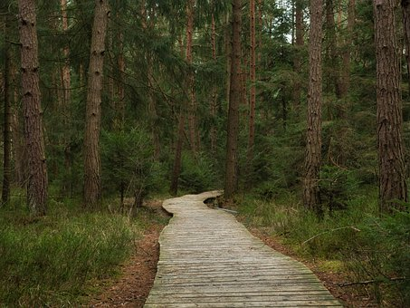 Forest, Pine, Forest Path, Wooden Track, Planks, Nature