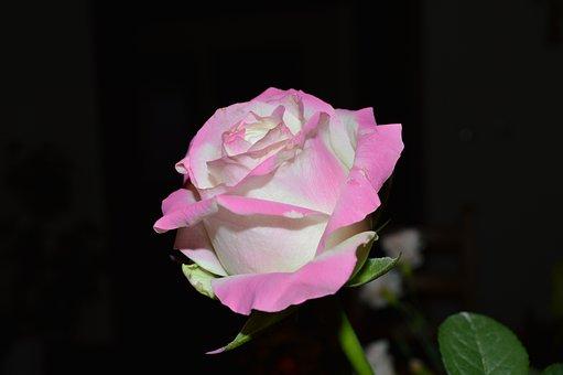 Rose, Flower, Pink, Nature